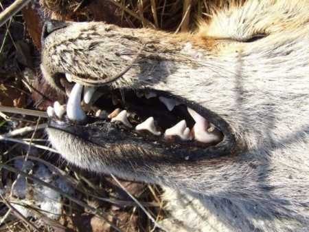 coyote-teeth
